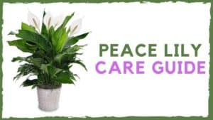 Peace Lily Care Guide: How to Grow Peace Lily